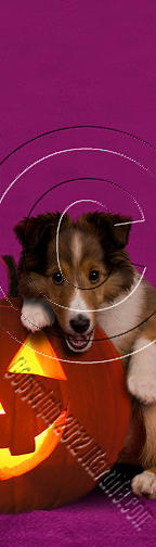 Halloween Sheltie Puppy # 418 Photograph
