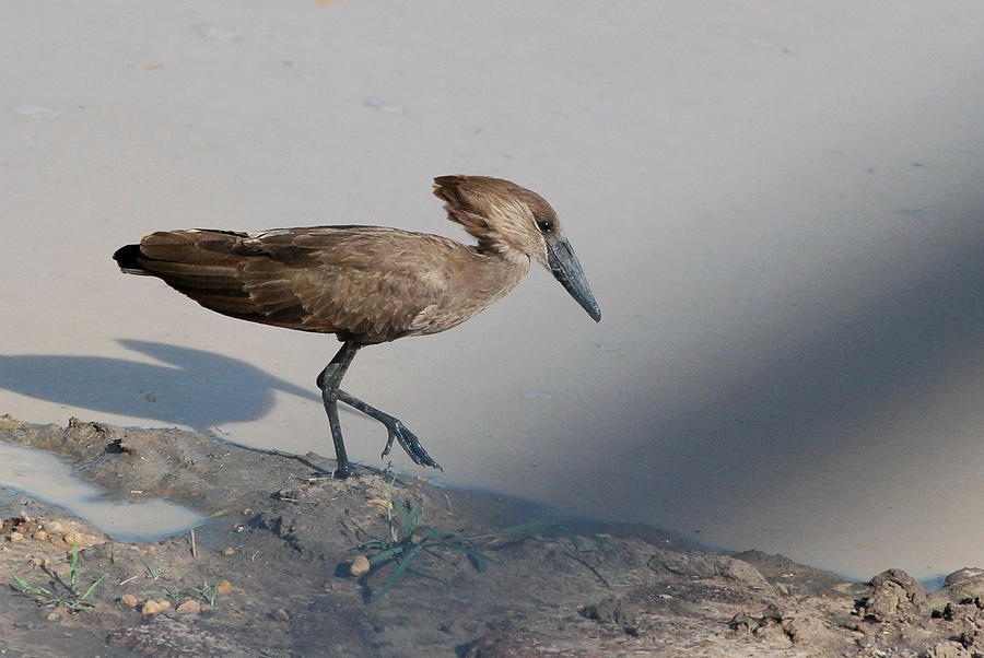 Hammerkop Or Scopus Umbretta Murchison Falls National Park Uganda Africa Photograph