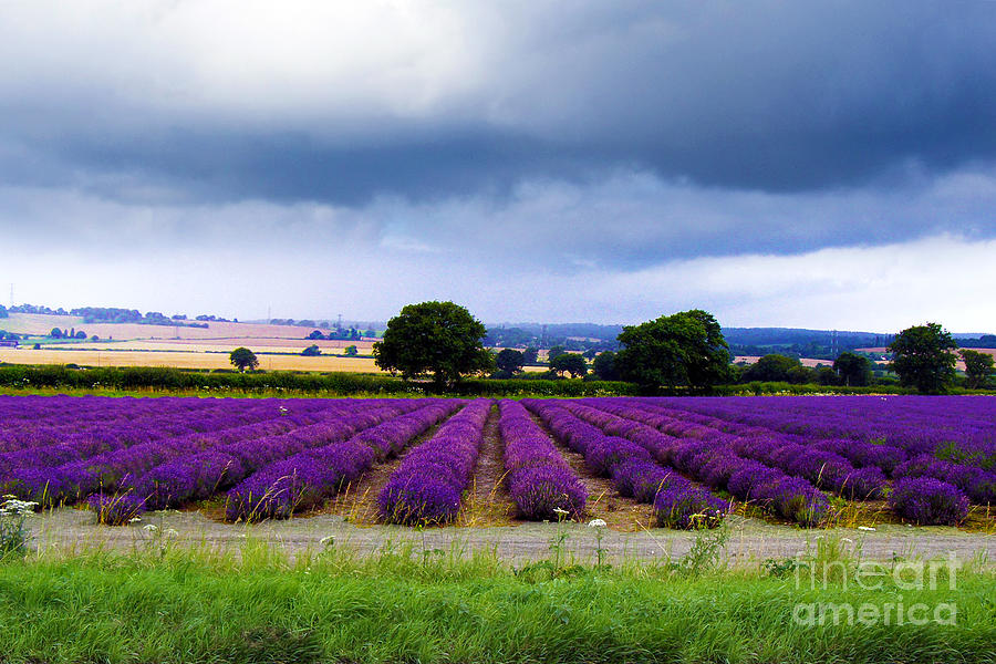 Hampshire Lavender Field Photograph  - Hampshire Lavender Field Fine Art Print