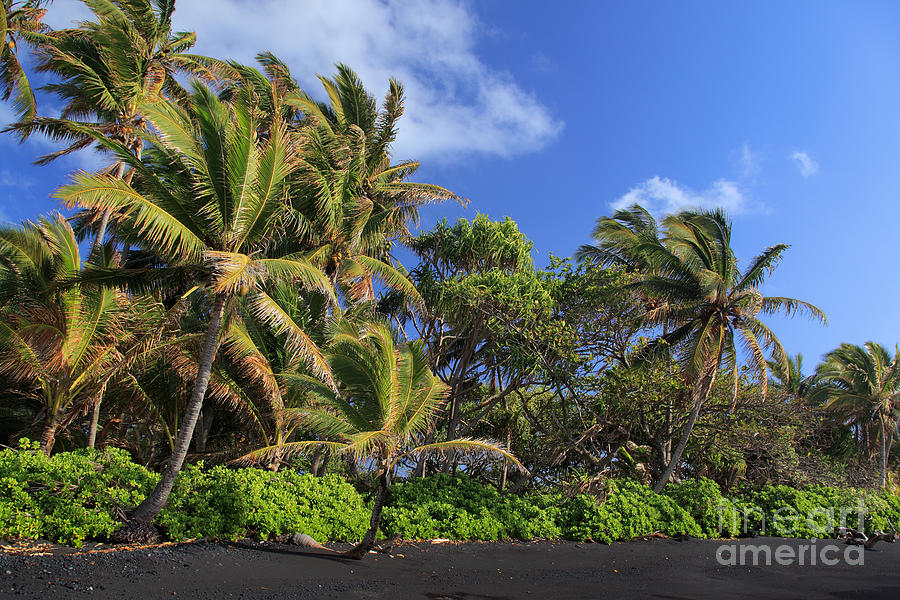 Hana Palm Tree Grove Photograph  - Hana Palm Tree Grove Fine Art Print
