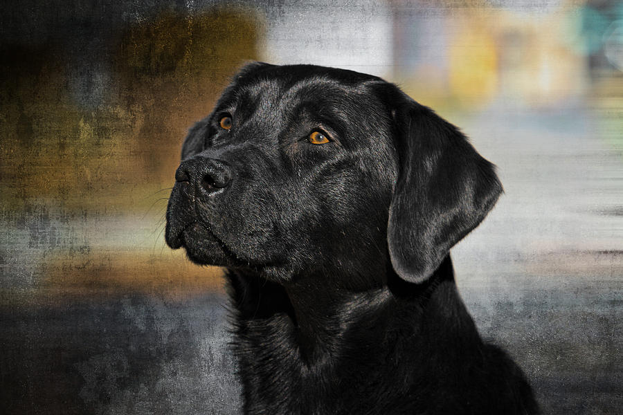 Handsome Black Lab Photograph  - Handsome Black Lab Fine Art Print