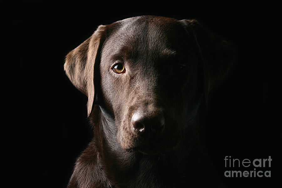 Chocolate Photograph - Handsome Chocolate Labrador by Justin Paget