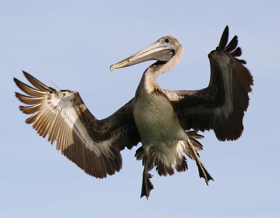 Pelicans Photograph - Hang Time by Paulette Thomas
