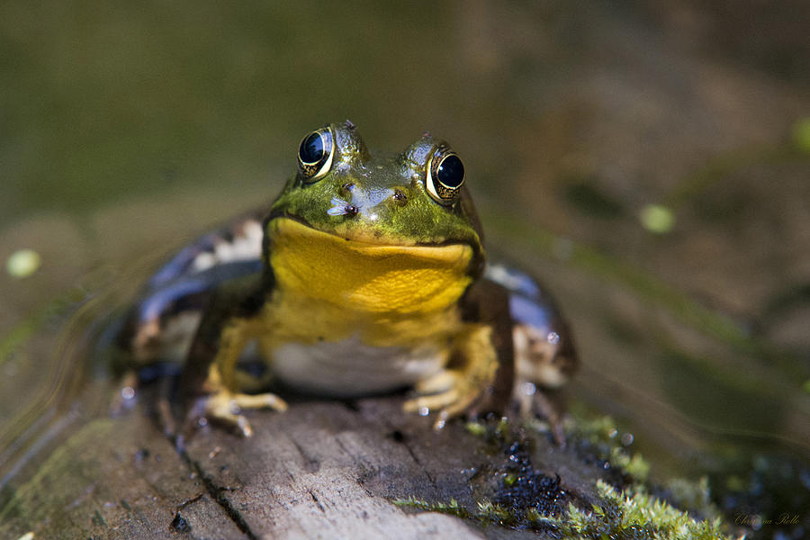 Frog Photograph - Happiness Frog by Christina Rollo