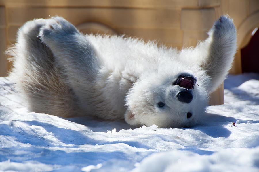 happy-polar-bear-cub-dora-miller.jpg