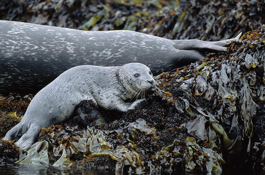 Color Image Photograph - Harbor Seal Pup Resting by Suzi Eszterhas