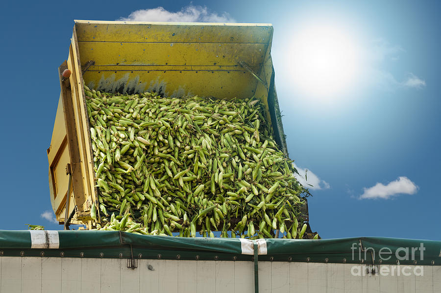 Harvester Unloads Harvested Corn Photograph