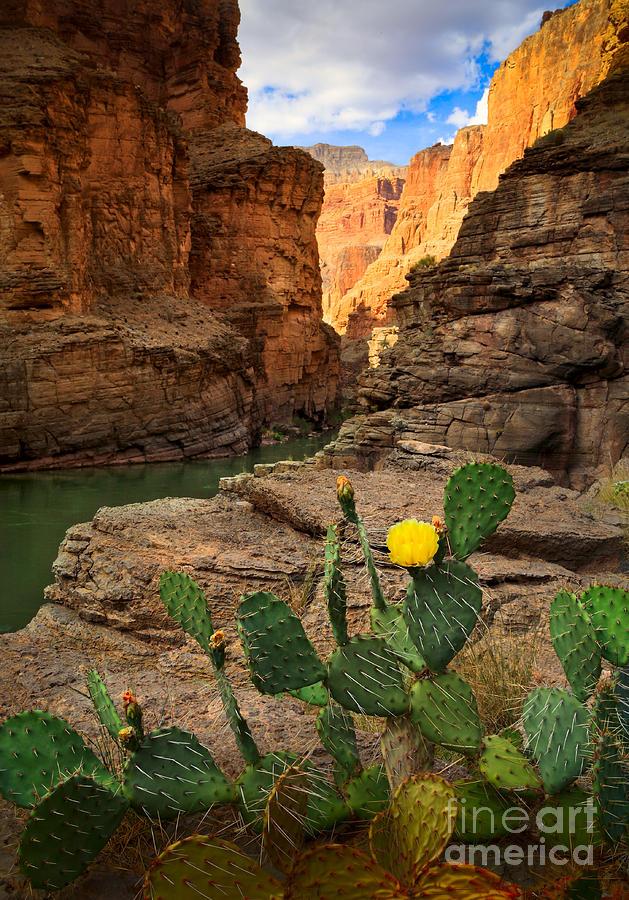 Havasu Cactus Photograph