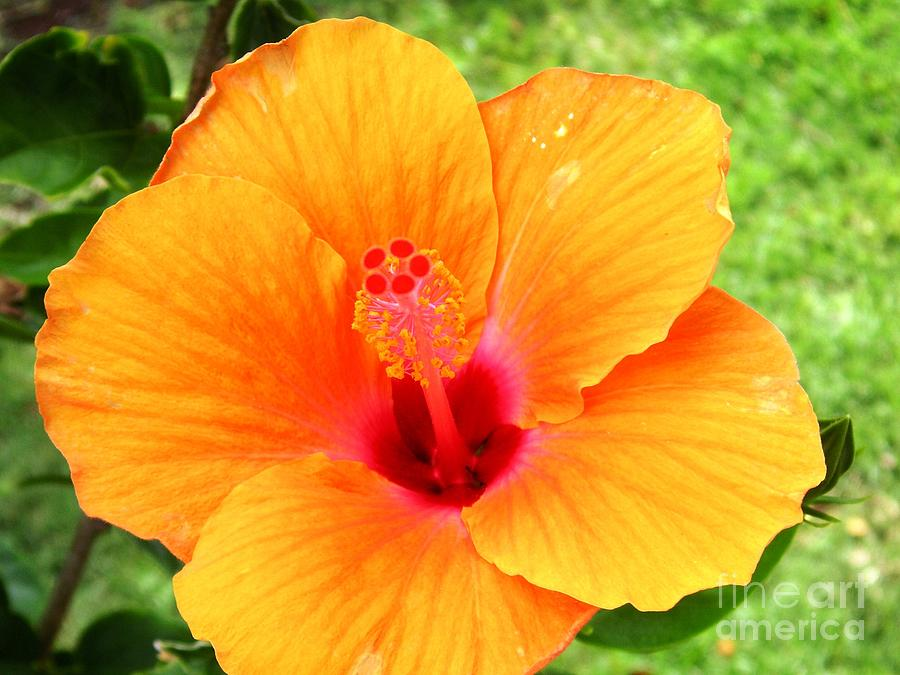 Hawaii orange hibiscus is a photograph by crystal miller which was