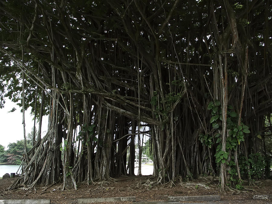 Hawaiian Banyan Tree - Hilo City Photograph