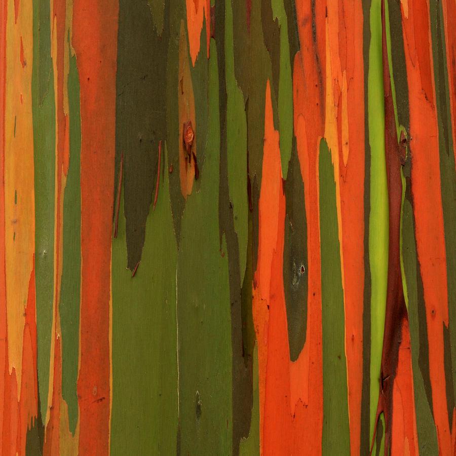 Hawaiian Eucalyptus Photograph