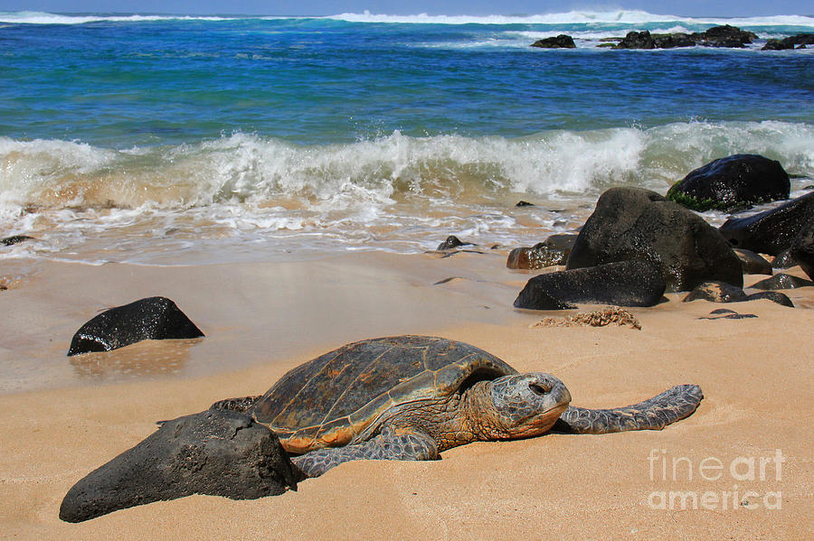 Hawaiian Green Sea Turtle Photograph