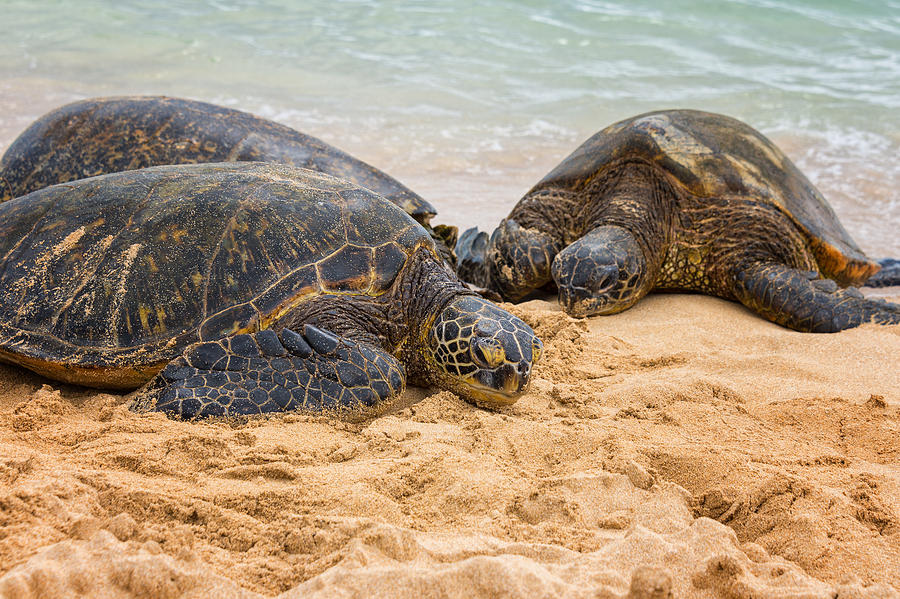 Hawaiian Green Sea Turtles 1 - Oahu Hawaii Photograph