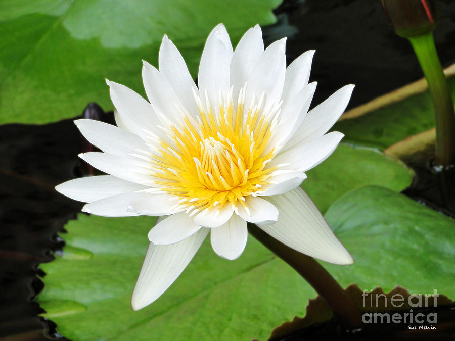 Hawaiian White Water Lily Photograph  - Hawaiian White Water Lily Fine Art Print
