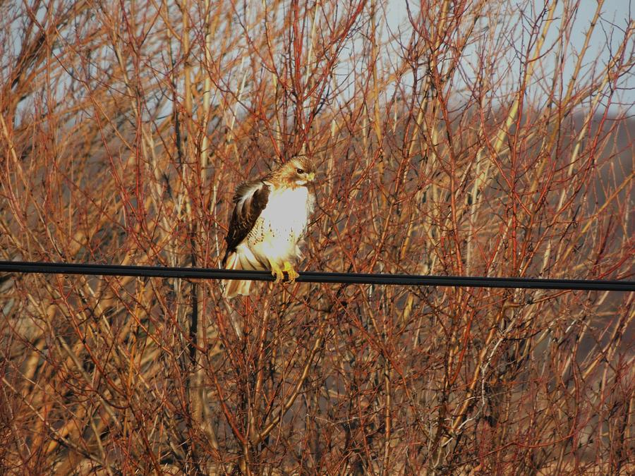 Hawk #22 Photograph  - Hawk #22 Fine Art Print