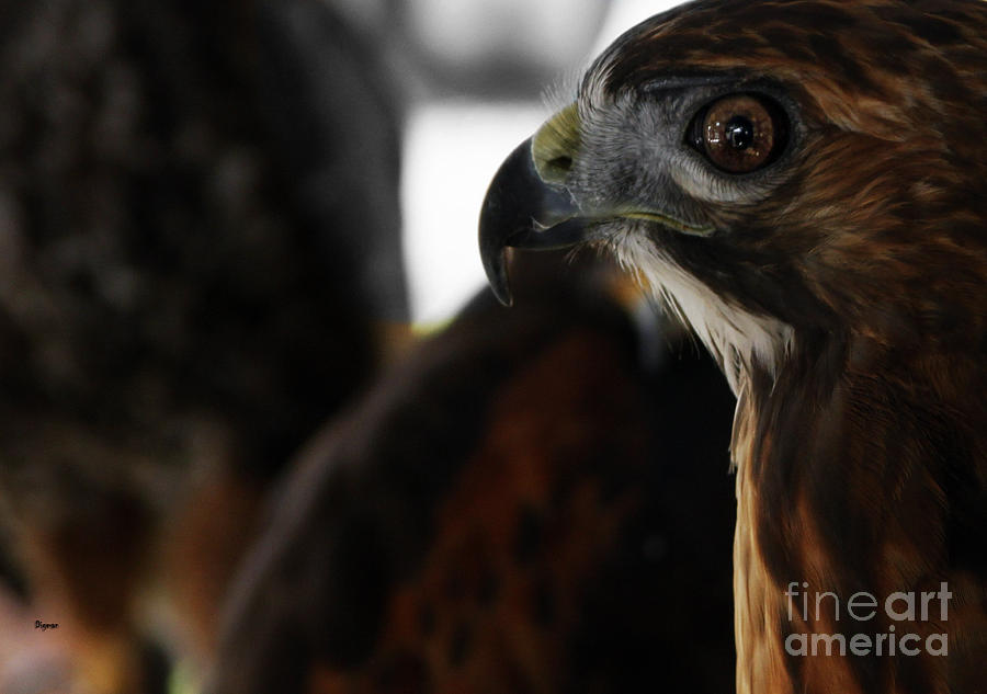 Hawk Eye Photograph  - Hawk Eye Fine Art Print