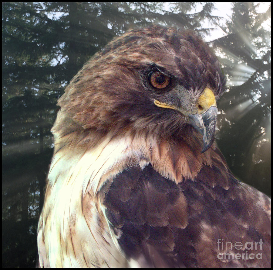 Hawk Eye - Wildlife Art Photography Photograph