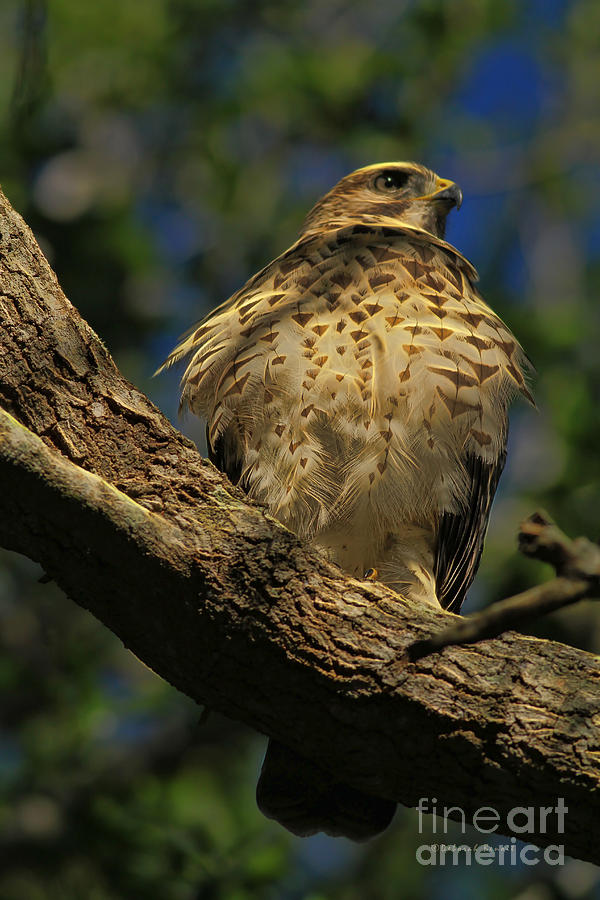 Hawk In Soft Light Photograph