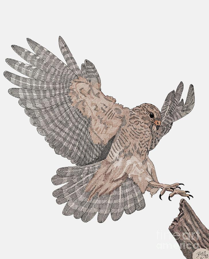 Hawk drawings