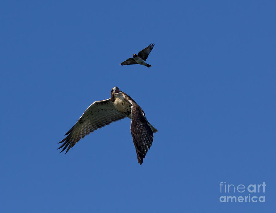 Hawk On Norris Lake II Photograph  - Hawk On Norris Lake II Fine Art Print