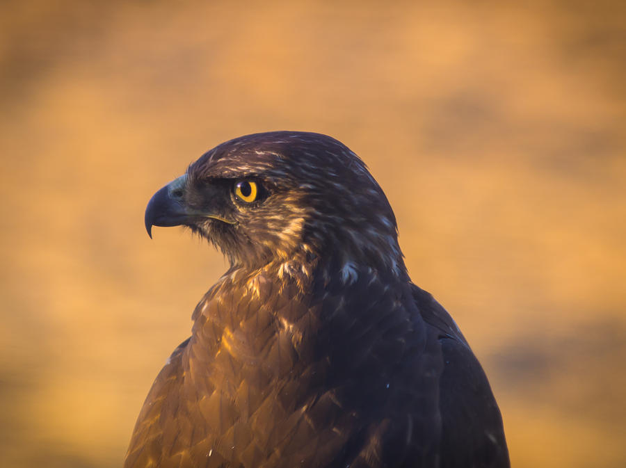 Hawk Portrait Photograph