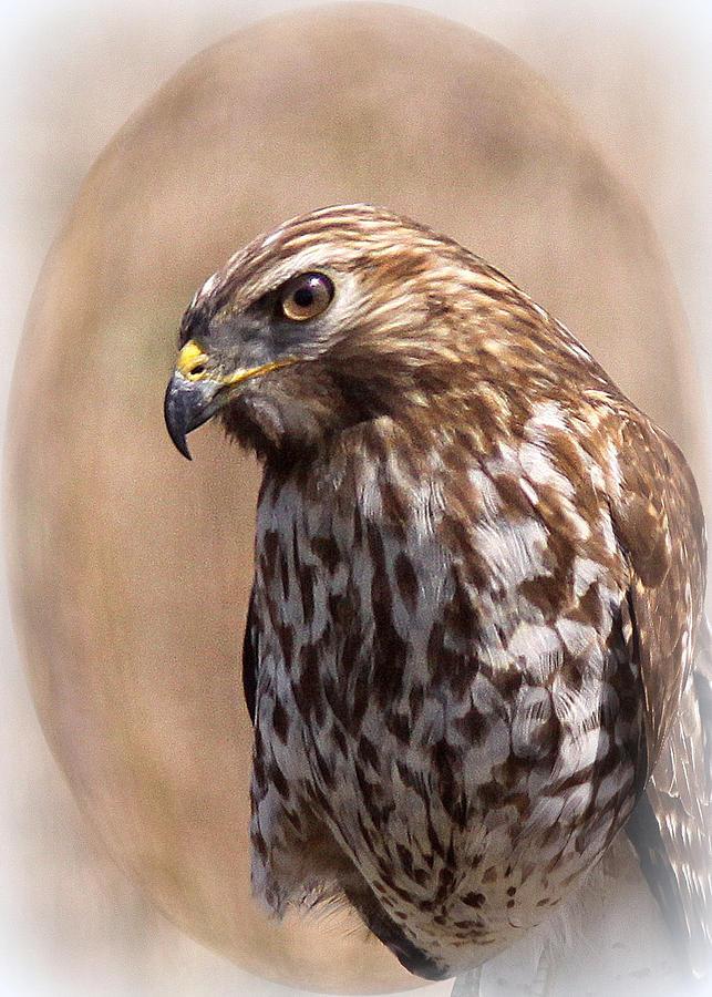 Hawk - Sphere - Bird Photograph