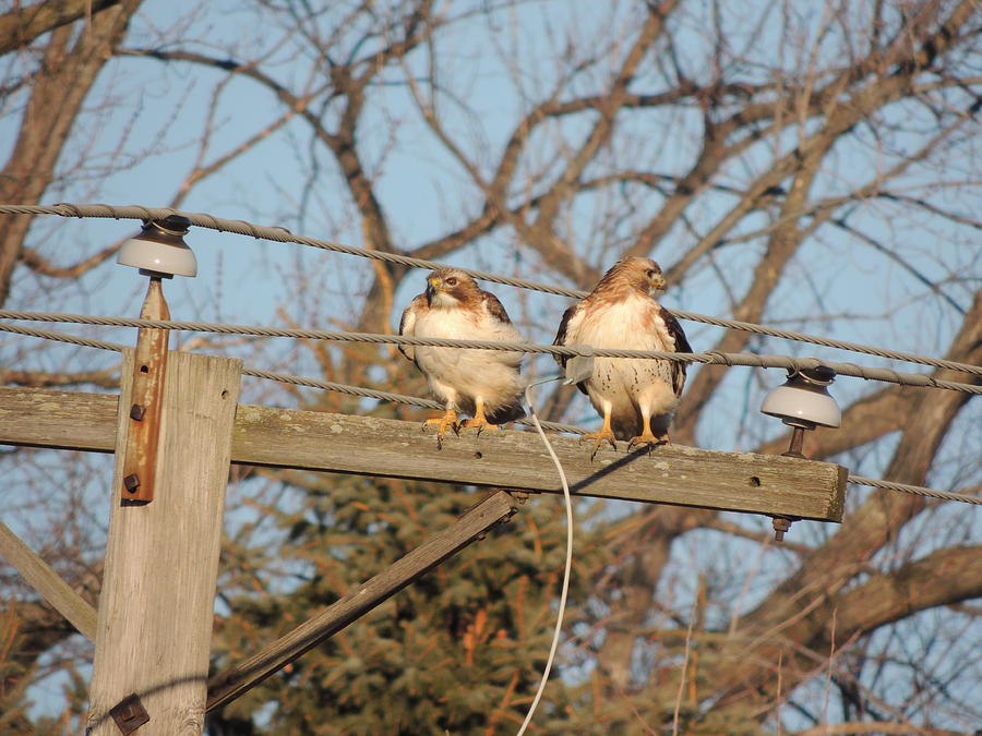 Two Hawks On A Telephone Pole Red Tail Photograph - Hawk Talk by Todd Sherlock
