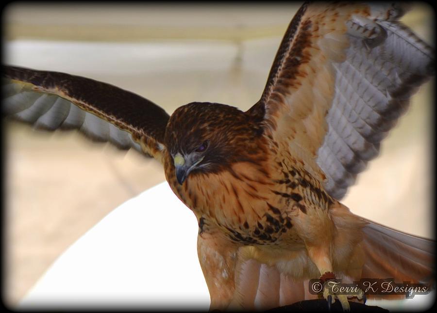 Hawk Photograph