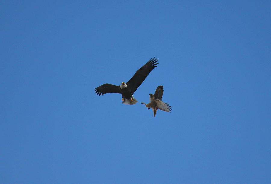 Difference Between a Hawk and a Falcon  Difference Between