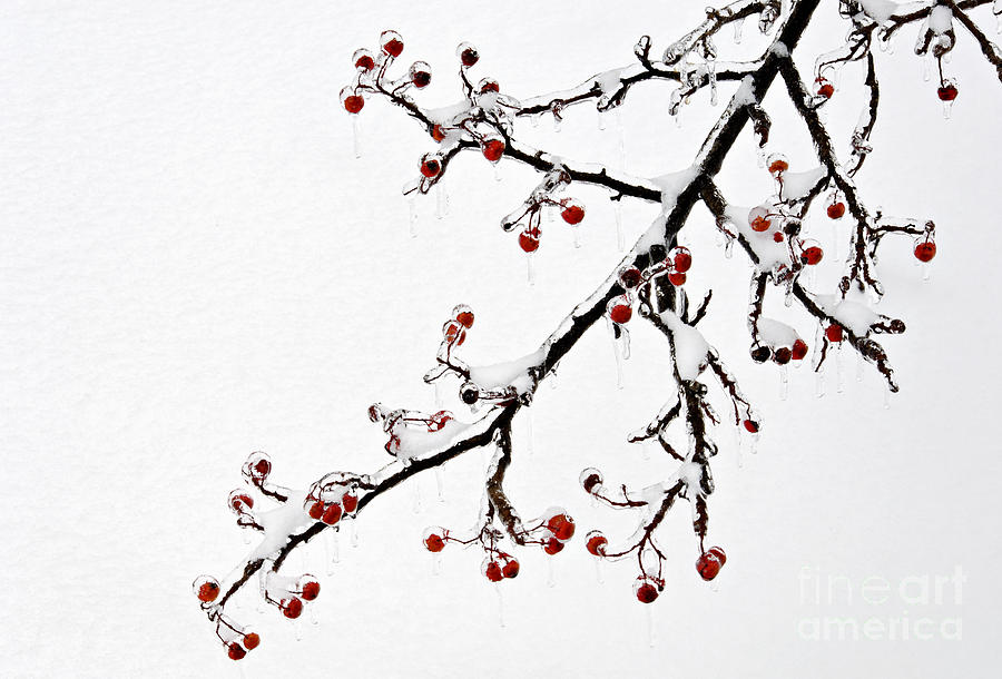 Hawthorn Ice And Snow - D004830 Photograph  - Hawthorn Ice And Snow - D004830 Fine Art Print