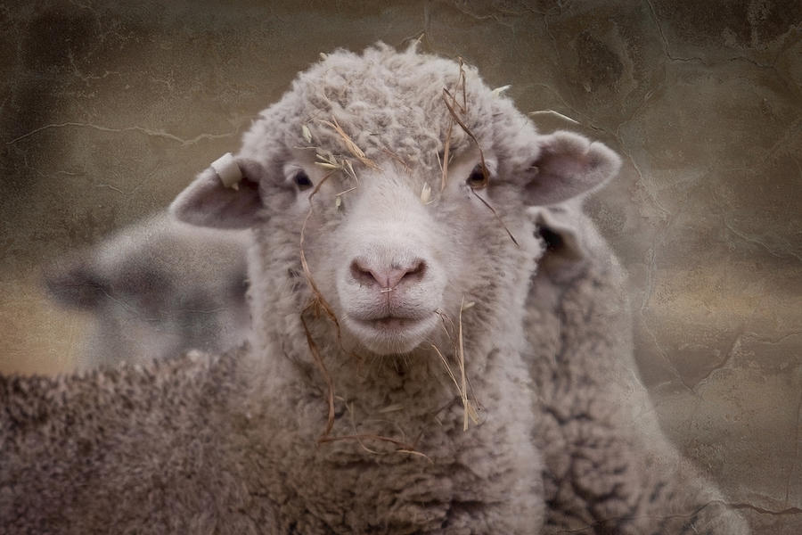 Sheep Photograph - Hay Ewe by Michelle Wrighton