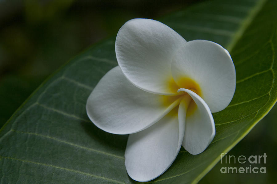 He Aloha No O Waianapanapa - White Tropical Plumeria - Maui Hawaii Photograph