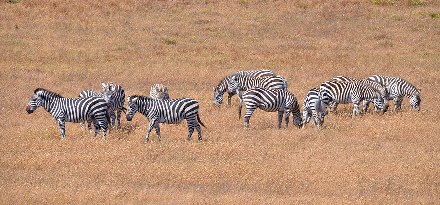 Hearst Castle Zebras Photograph