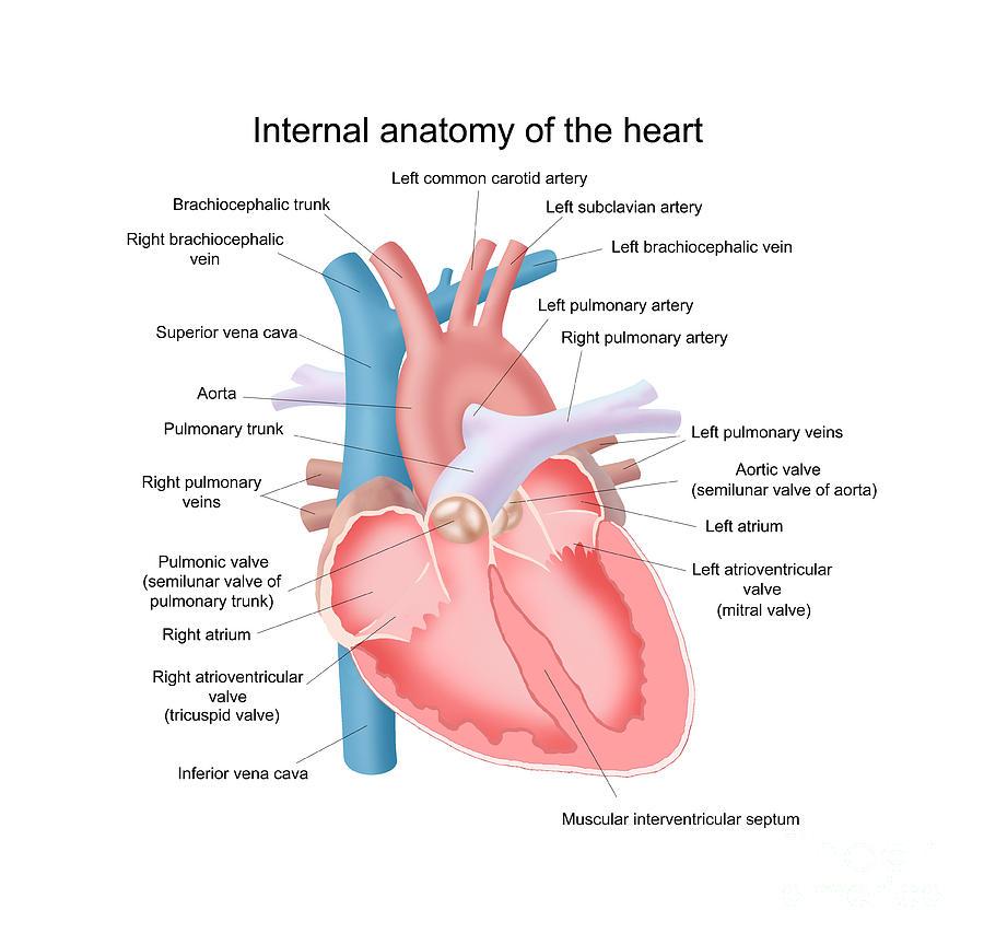 Pulmonary vein anatomy