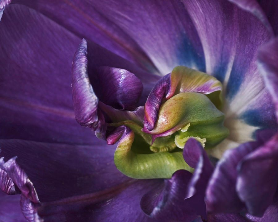 Heart Of A Purple Tulip Photograph