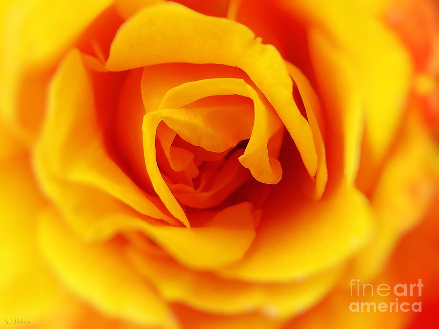 Rose Photograph - Heart Of A Rose by Ella Kaye Dickey