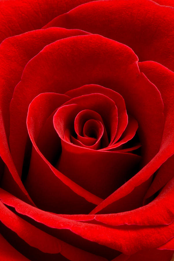 Heart Rose Vertical Photograph