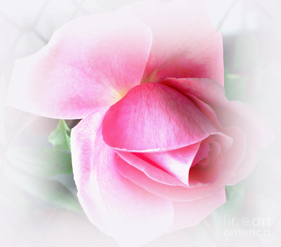Heartfelt Pink Rose Photograph  - Heartfelt Pink Rose Fine Art Print