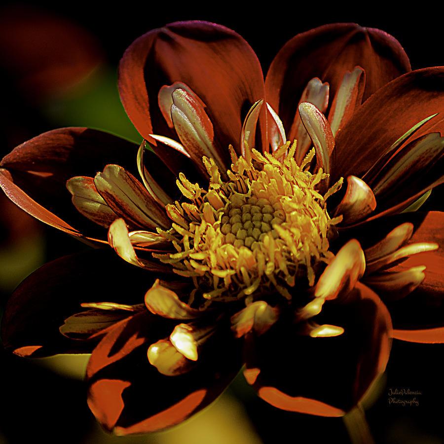 Heartthrob Dahlia Photograph