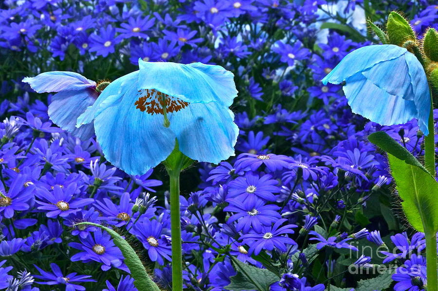 Blue Poppies And Blue Daisies Photograph - Heavenly Blue On Blue And Purple by Byron Varvarigos