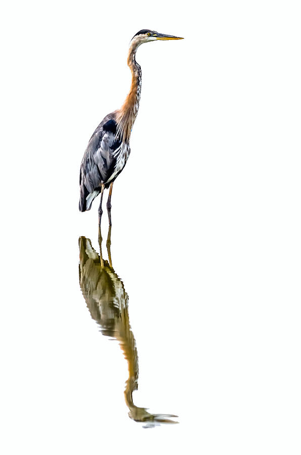 Heavenly Heron Photograph  - Heavenly Heron Fine Art Print