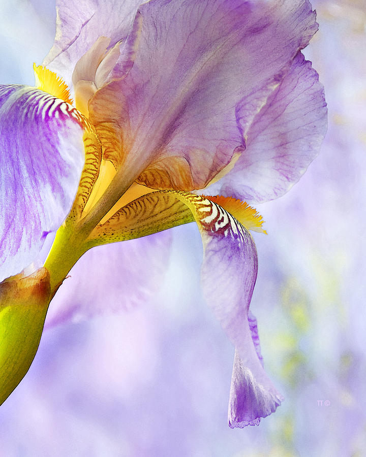 Heavenly Iris 2 Photograph  - Heavenly Iris 2 Fine Art Print