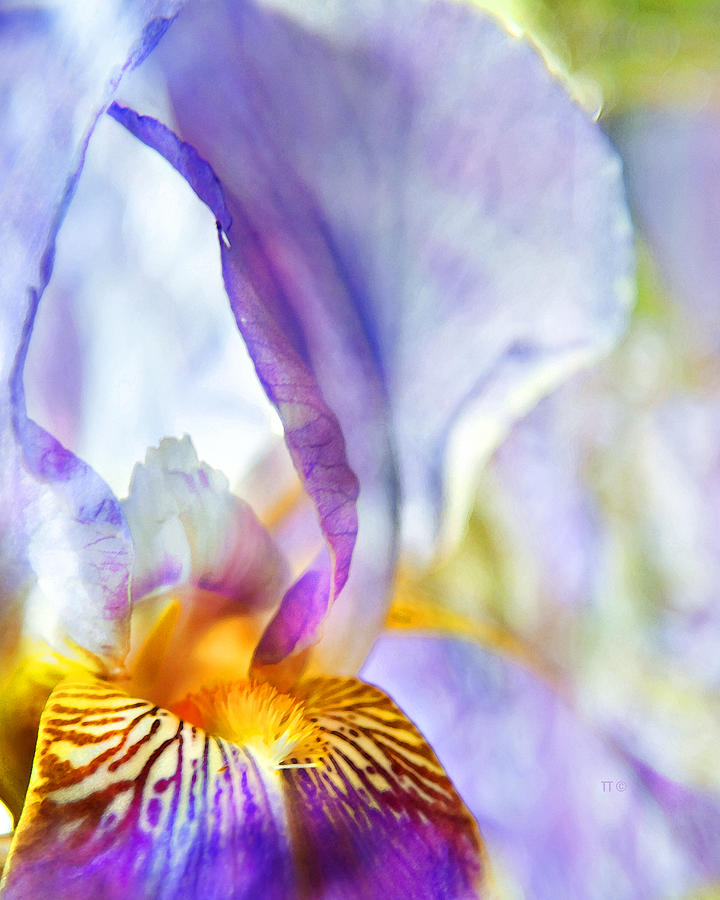 Heavenly Iris Photograph