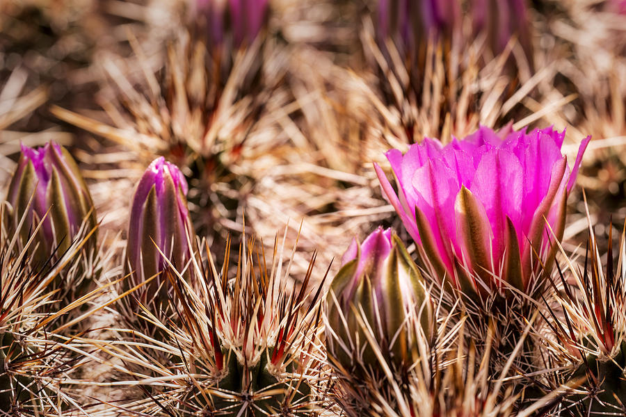Hedgehog Cactus Flower And Buds Photograph  - Hedgehog Cactus Flower And Buds Fine Art Print