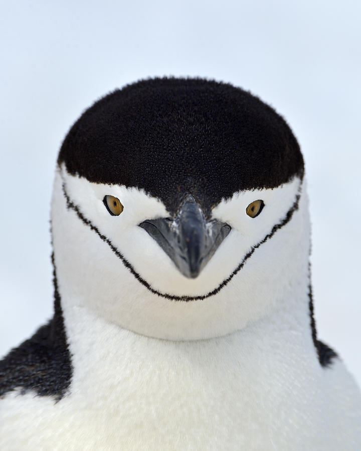 Chinstrap Penguin Photograph - Helmet by Tony Beck