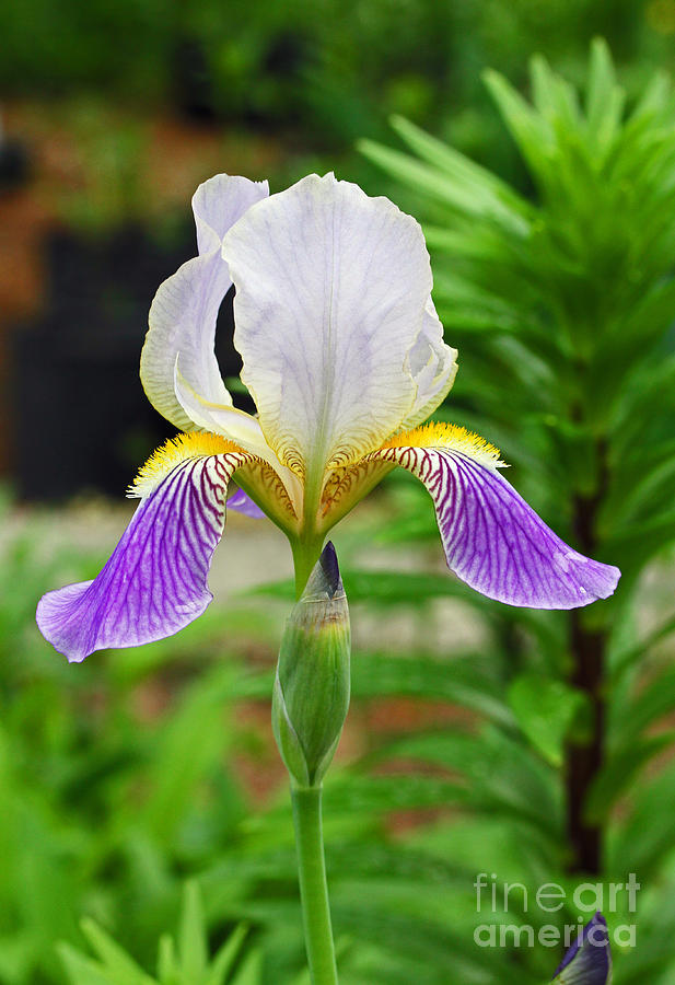 Her Majesty Iris  Photograph