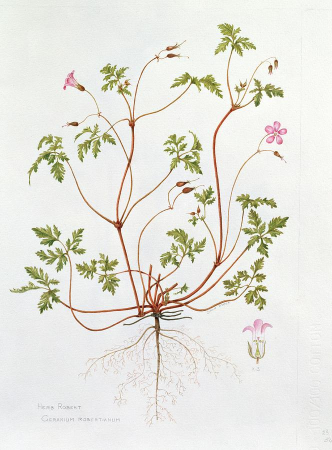 Herb Robert Painting  - Herb Robert Fine Art Print