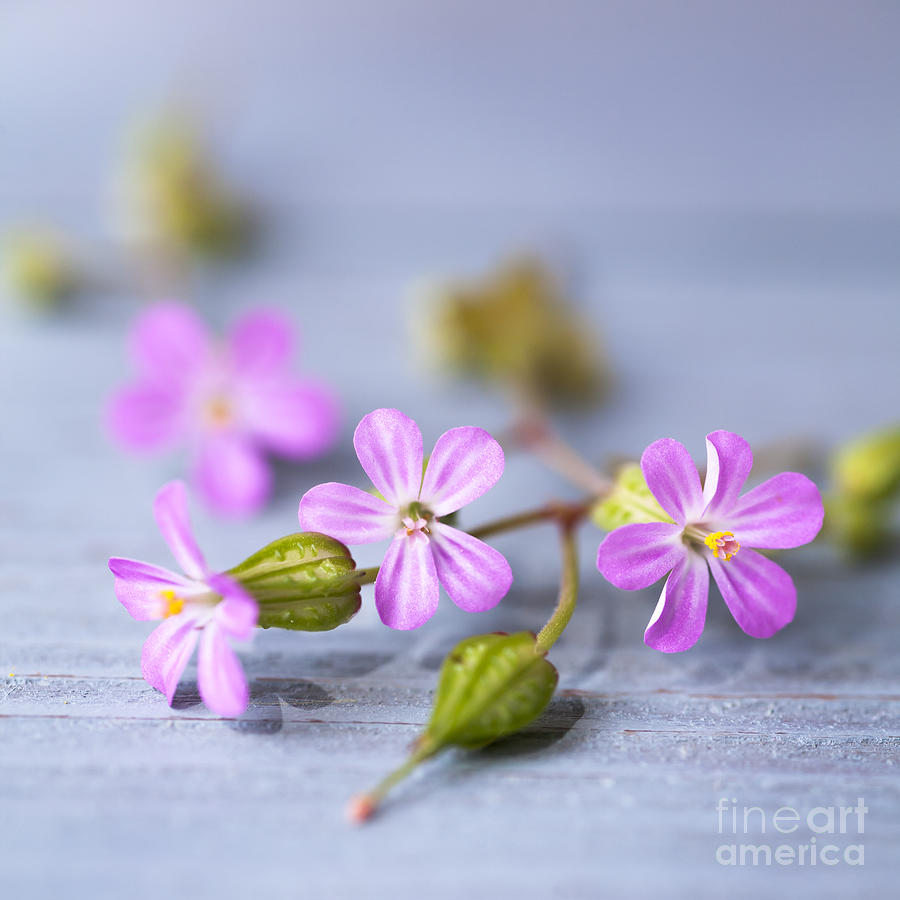 Herb Robert Photograph  - Herb Robert Fine Art Print