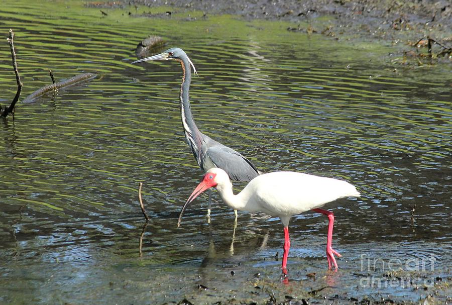 Heron And Ibis Photograph  - Heron And Ibis Fine Art Print