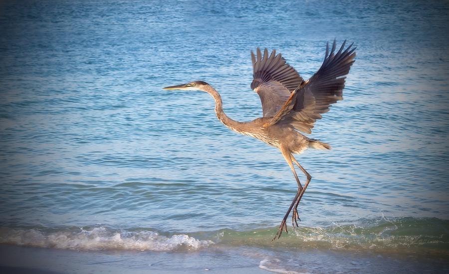 Heron Boca Grande Florida Photograph